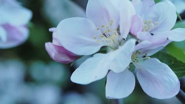 Kvetoucí strom svačina jablko s bílými květy na pozadí bokeh