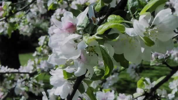 Kvetoucí strom svačina jablko s bílými květy