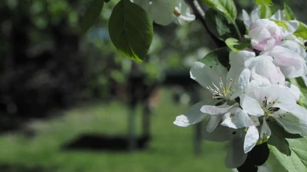 Kvetoucí strom svačina jablko s růžovými květy