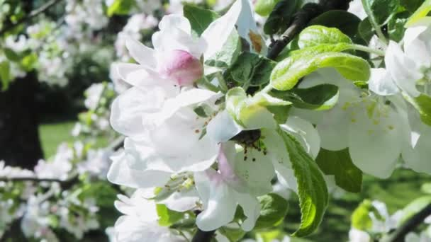 Bee at the blossom white apple tree