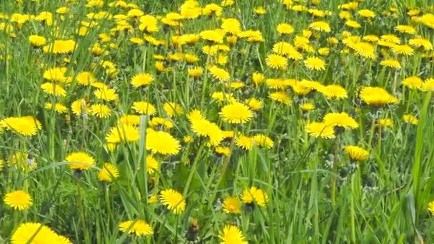 žlutá květina hlavy sonchus rostliny na jarní louce