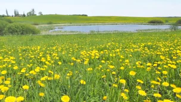 Květy žluté osít bodlák na jarní louce