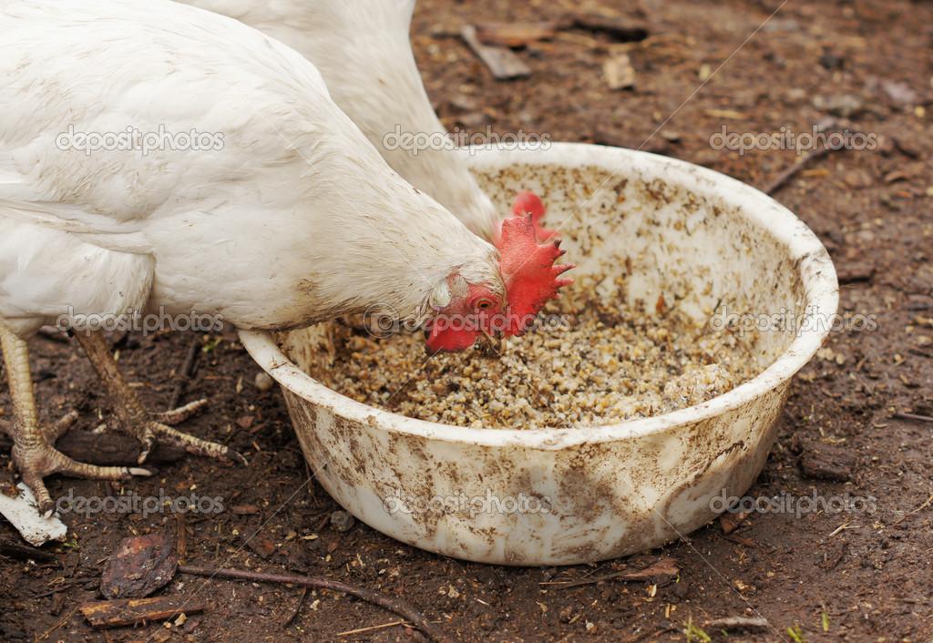 картинки зерен для цыплят дырукак выразились вырыта