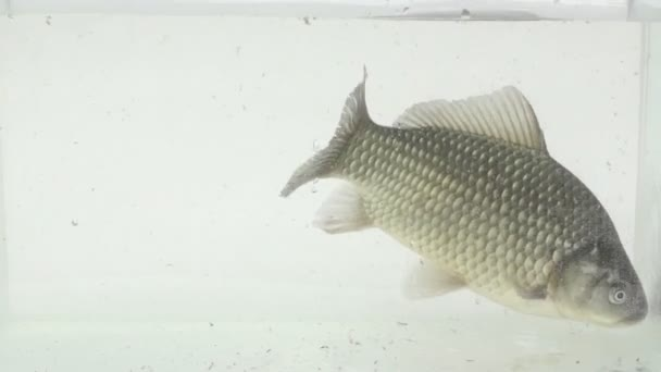 velké Karas obecný plave v akváriu skla