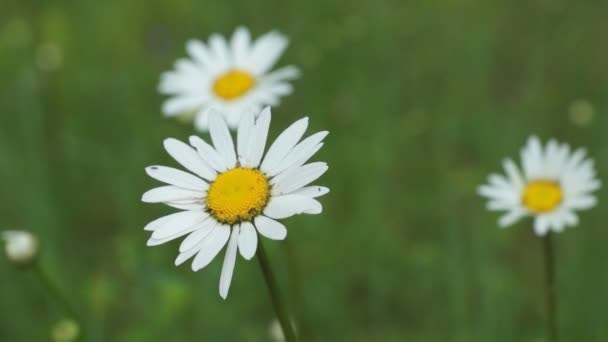 Camomile flower at a meadow