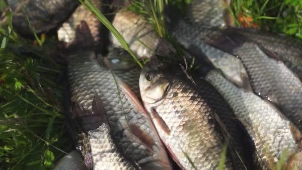 rybářské úlovky. živý crucians leží na trávě