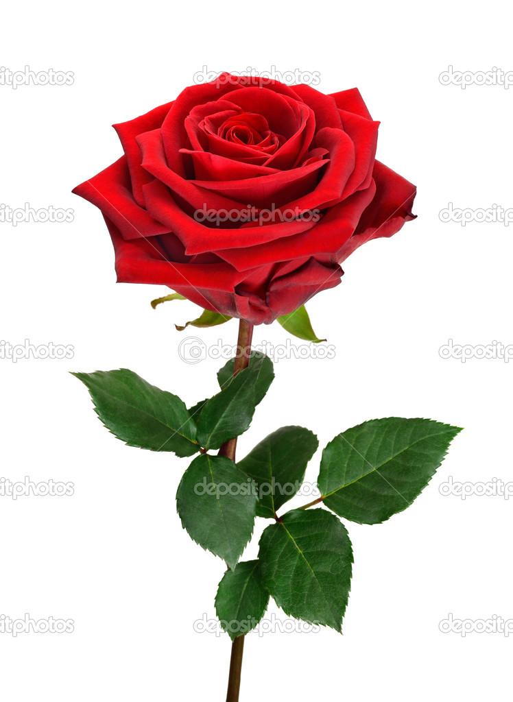 open red rose on white stock photo smileus 42324527. Black Bedroom Furniture Sets. Home Design Ideas