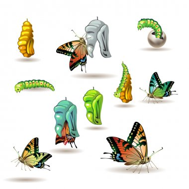 Butterfly stages