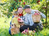 Rodinné sklizní jablek