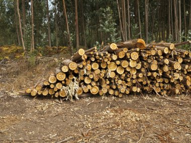 Logs of eucalyptus trees eucalyptus lumbering