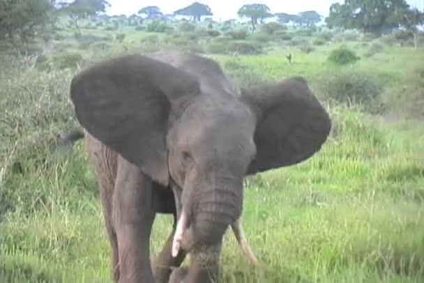 slon buff poplatek tarangire