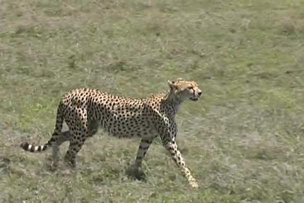 gepard chůzi serengeti