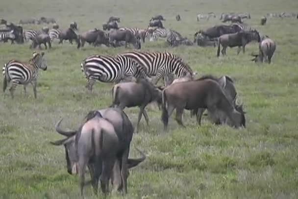 GNU a zebry, pastva
