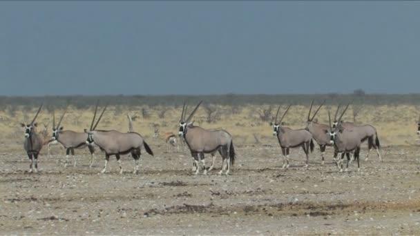Oryx or Gembok