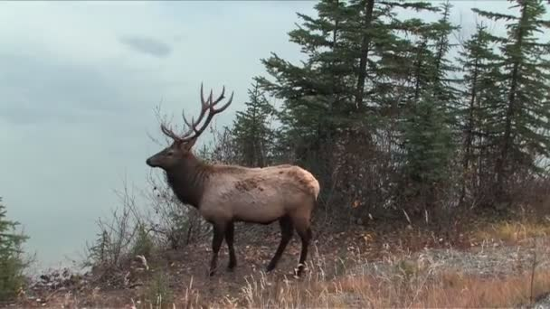 Elk v Albertě park jasper