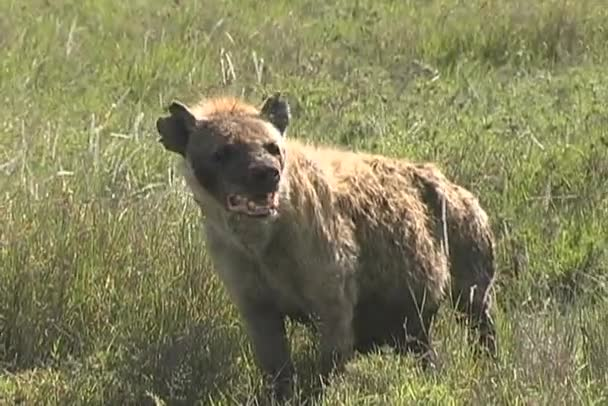 Hyena hunting for near by lion cubs