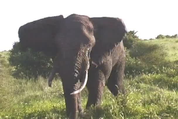 A Tarangire Nemzeti Park Tanzánia Afrikában küzdenek elefántok