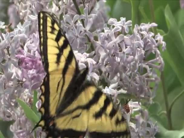 otakárek butterfly na fialové Lila květina