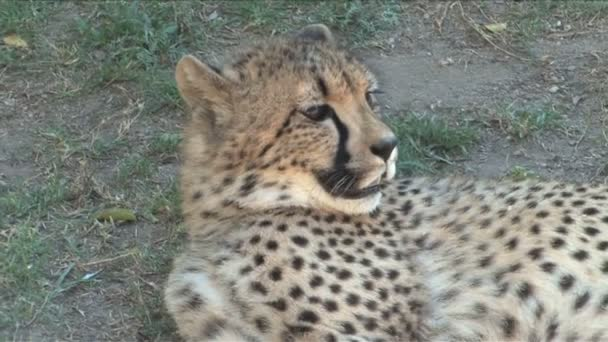 Detailní záběr gepard
