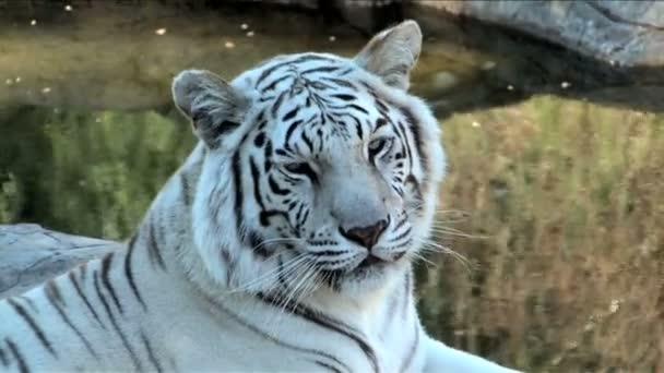 Bengálský tygr bílý