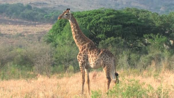 žirafa v hluhluwe game reserve