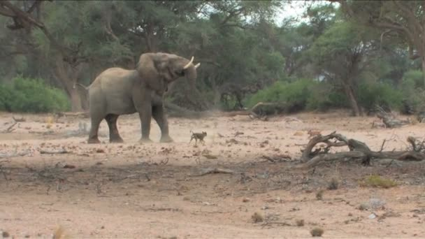 Unusual behaviour by Desert Elephant  dogs in Namibia