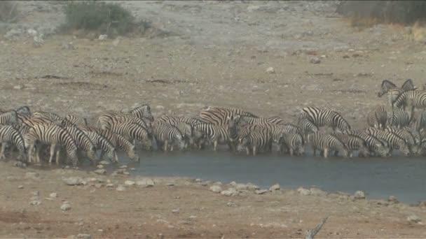 Zebra at the waterhole