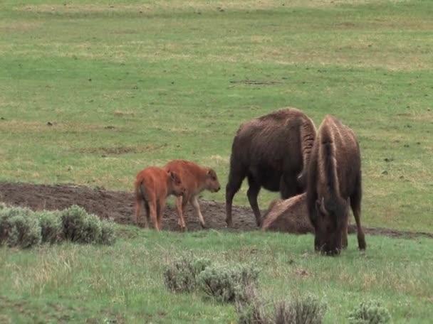 famiglia di bisonte europeo