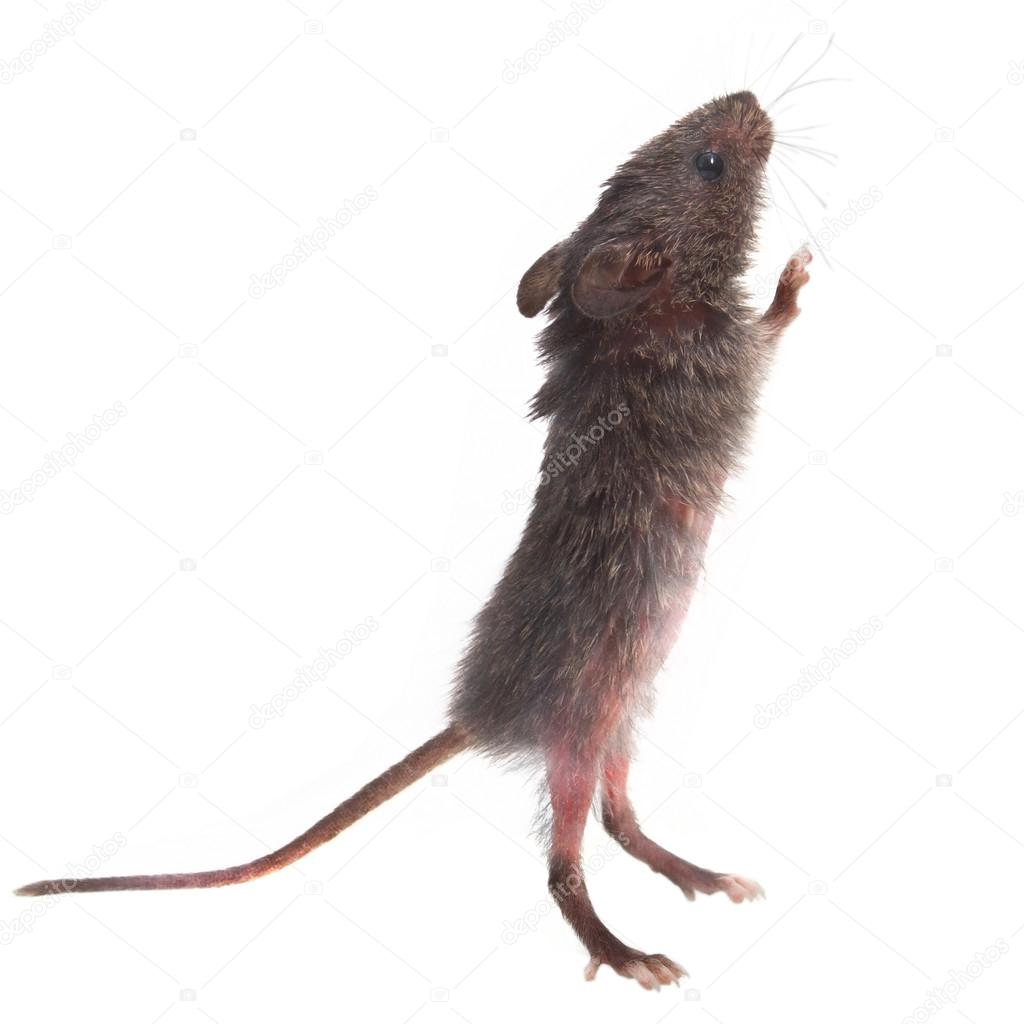 wild gray mouse rat stands on its hind legs sniffing isolated (c