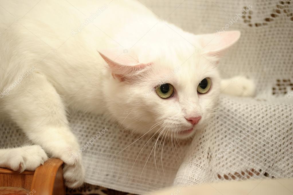 retrato de um gato branco — Stock Photo © evdoha  12615233 34da2f7ec2c