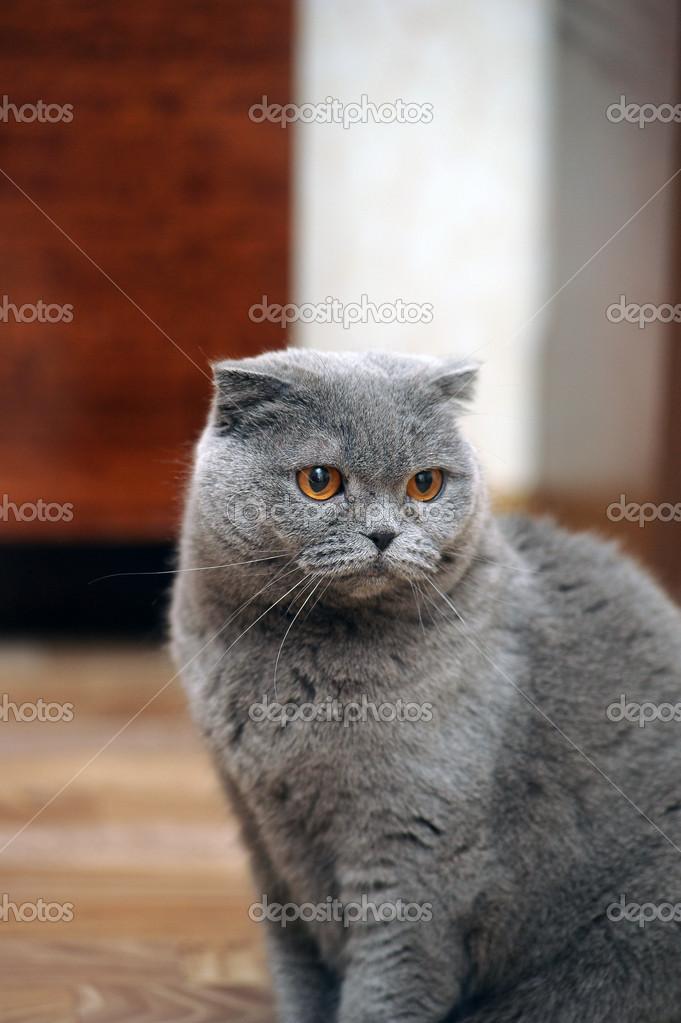 スコティッシュフォールド猫グレー \u2014 ストック写真 © evdoha