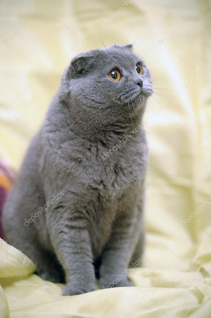 Szary Kot Szkocki Zwisłouchy Zdjęcie Stockowe Evdoha 13900358