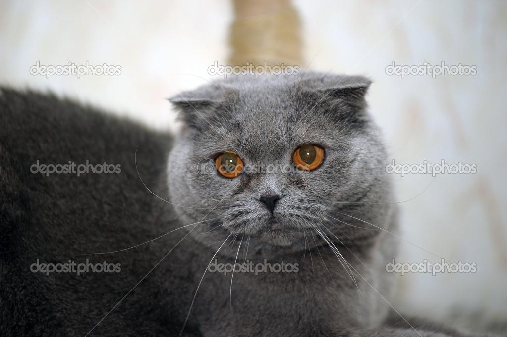 Szary Kot Szkocki Zwisłouchy Zdjęcie Stockowe Evdoha 13900416