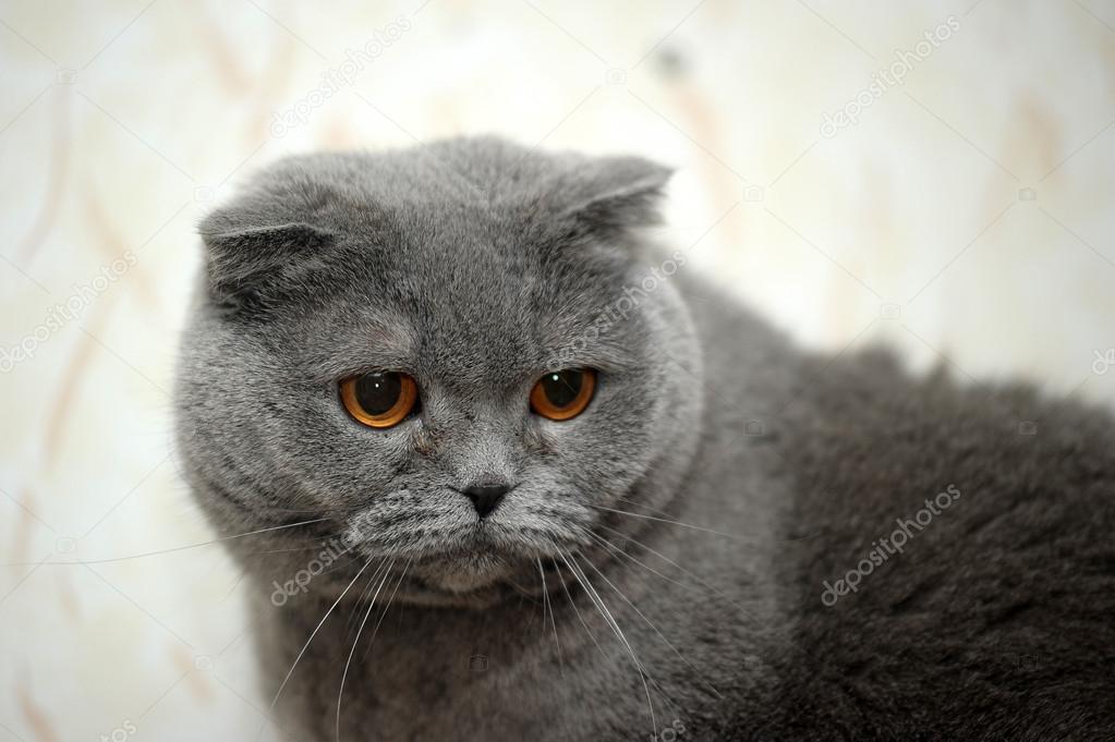 Szary Kot Szkocki Zwisłouchy Zdjęcie Stockowe Evdoha 13900940