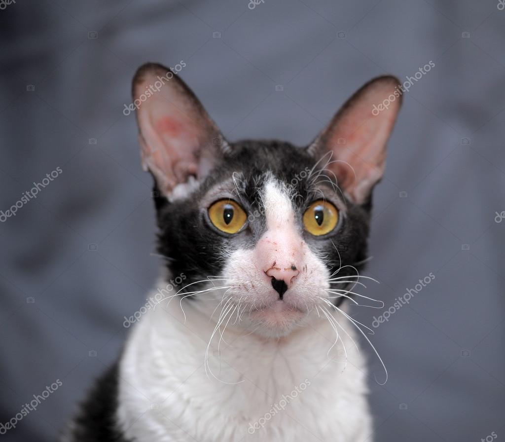 Biały I Czarny Kot Cornish Rex Zdjęcie Stockowe Evdoha 36322079
