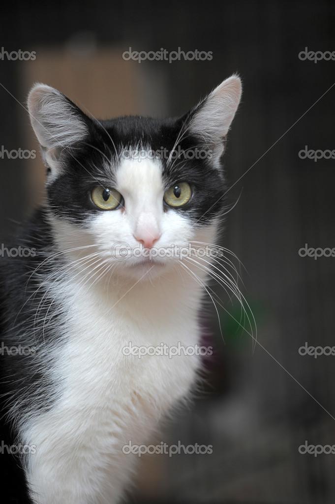 Black white cat — Stock Photo © evdoha #40035635