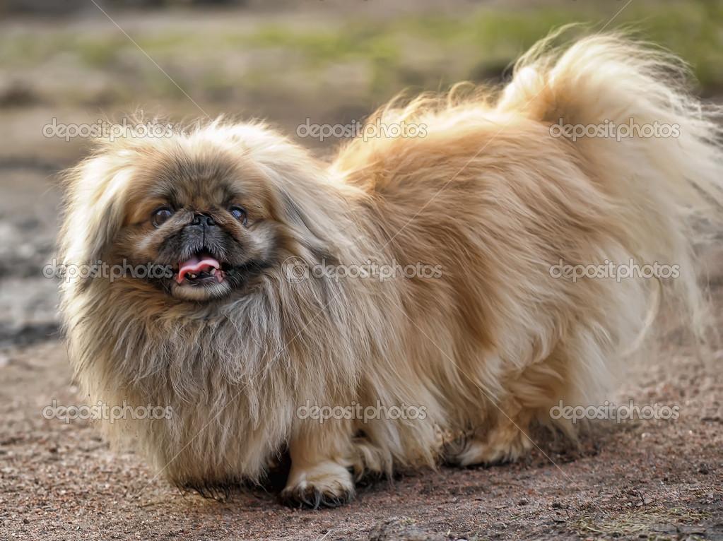 Pekingese Hund Stockfoto Evdoha 42176947