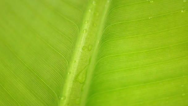 banán levél