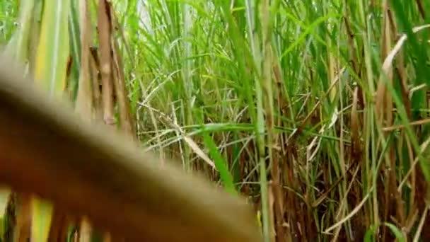séta a cukornád-mező