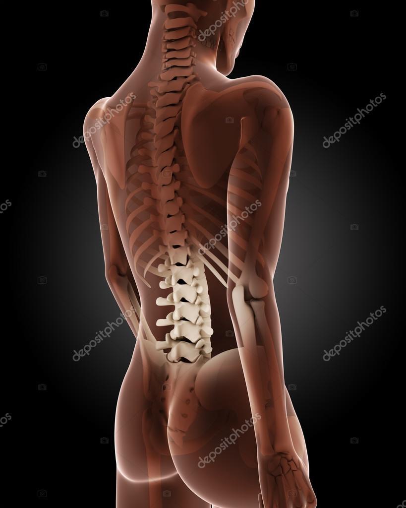 weibliche medizinische Skelett — Stockfoto © kjpargeter #33475415