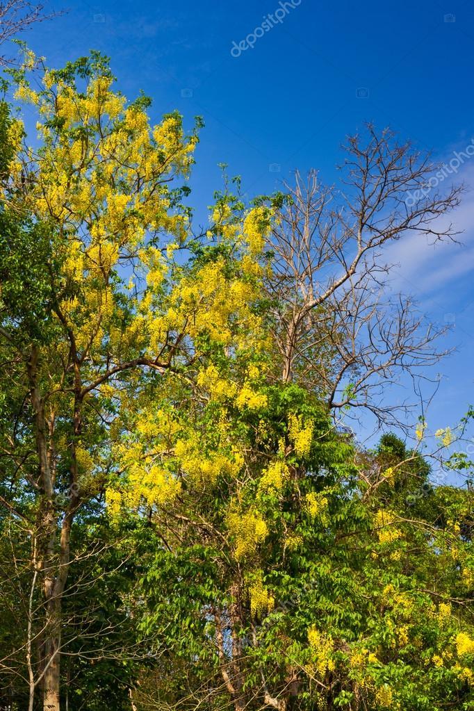 Arbre Fleur Jaune Avec Un Arbre Mort Sur Ciel Bleu Photographie