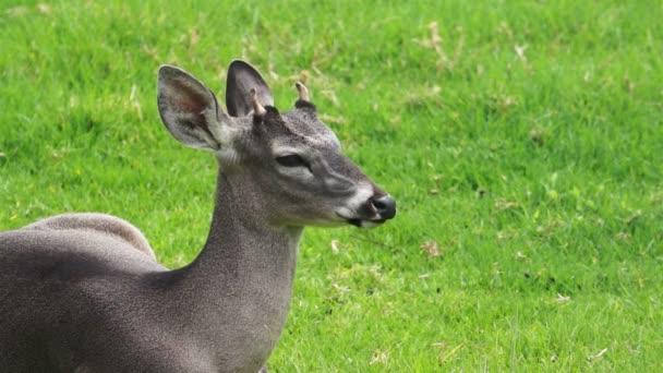 mladá bílá sledoval jelena při pohledu na fotoaparát