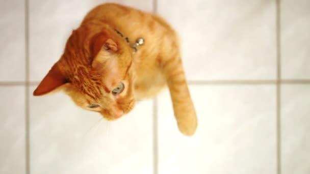 gatto andicappato giocando con il giocattolo di stringa