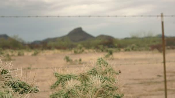 chainfruit skákání cholla kaktus dolly