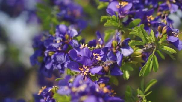 mézelő méh a lila virágok polination