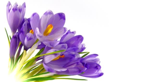 timelapse kvetoucí krokusy