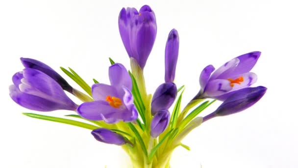 Timelapse blooming crocuses