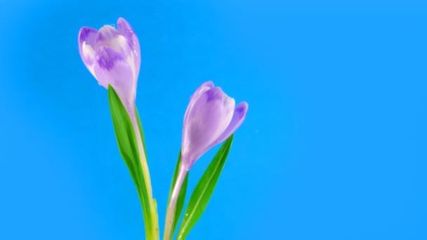 Two timelapse blooming crocuses