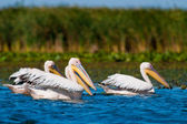 Pelikán severoamerický v dunajské deltě