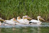 Hejna pelikánů bílých